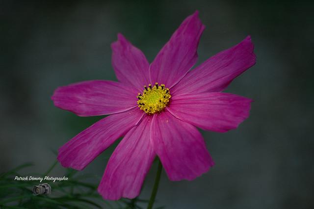 Fleur, cosmos, Nikon D70, Sigma 70-300mm F4-5.6 APO Macro Super II