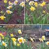 Jim's #daffodils