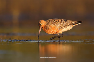 Bar-tailed Godwit (Limosa lapponica) in breeding plumage feeding.