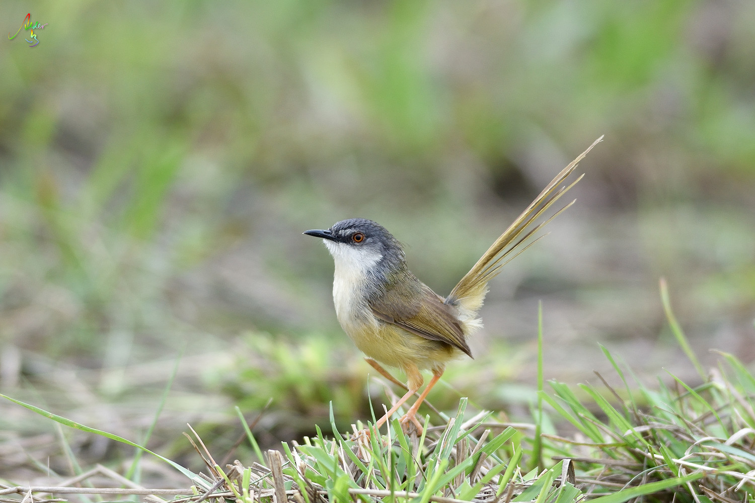 Yellow-bellied_Prinia_3495