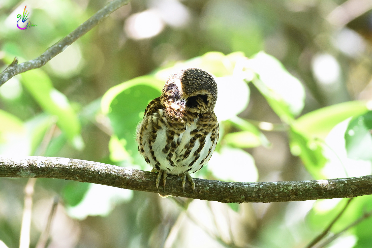 Collared_Pigmy_Owlet_4238