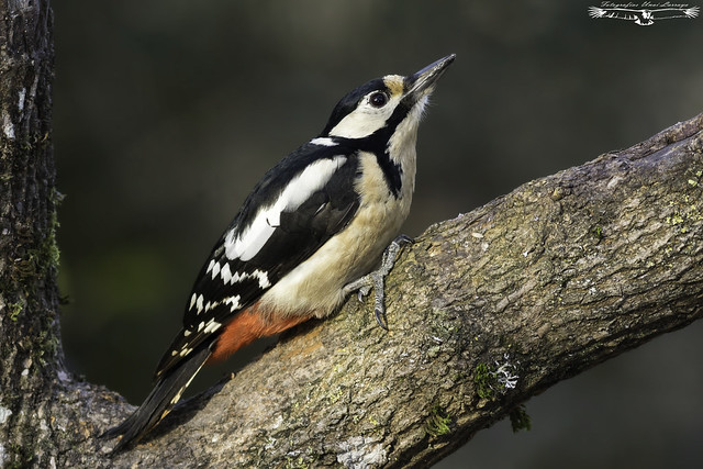 Great spotted woodpecker - Dendrocopos major - Pico picapinos.