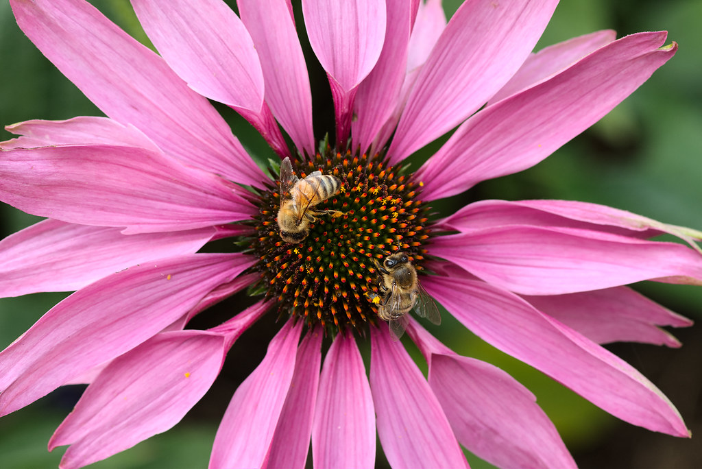 Two bees collect pollen from a purple coneflower blossom