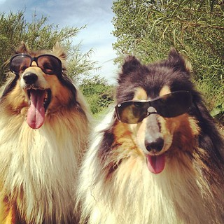 #Lassie & #Candy wear #shades coz they #rock! (#country #dogs! )