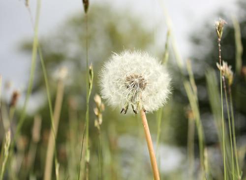 Dandelion seed head