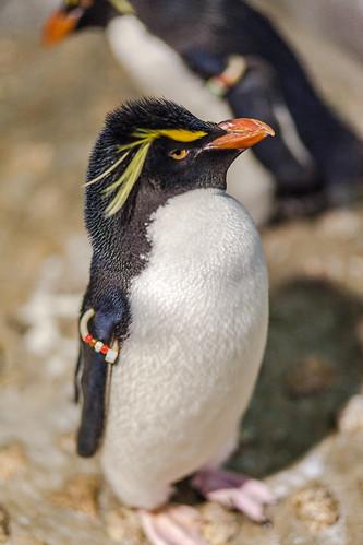Confident Penguin by Mr. Myeatt
