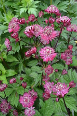 ASTRANTIA 'Bury Court'
