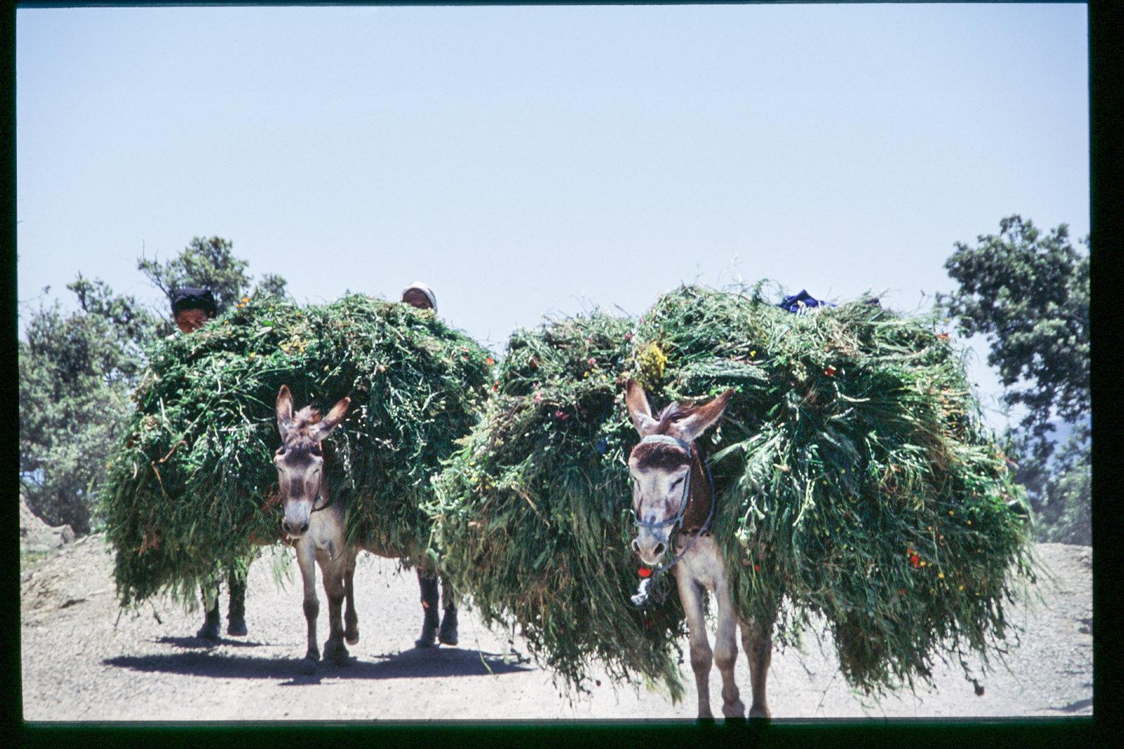 Maroc -Rif - Transport de la récolte
