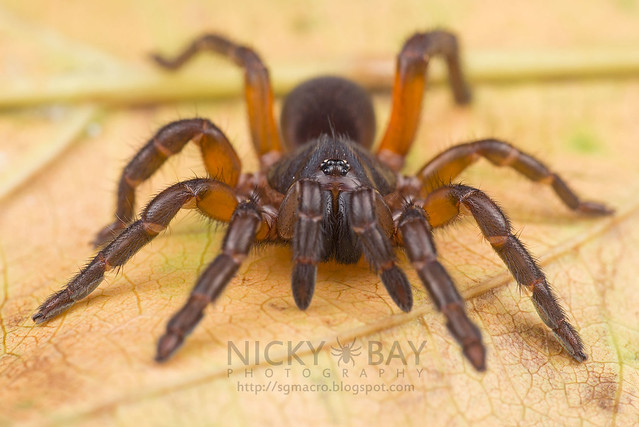 Brush-Footed Trapdoor Spider (Barychelidae) - DSC_8306