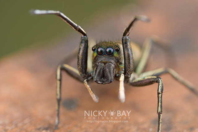 Jumping Spider (Salticidae) - DSC_8354