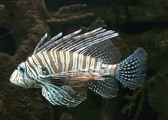 Lionfish 09-01-2011 3