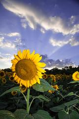 Sunflower Rays [Explored #181]