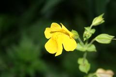 Phrymaceae
