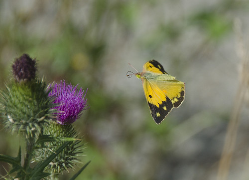 Clouded Yellow on the wing