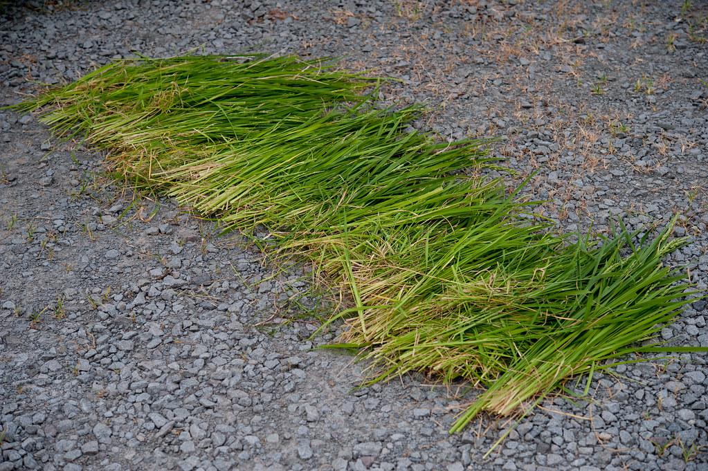 2013-08-15 稲刈り