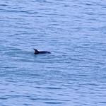 Dolphin 2 crop