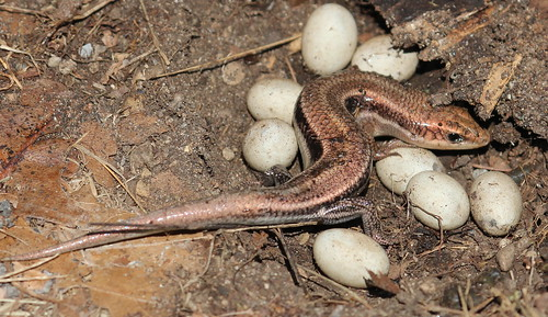 Five lined skink and eggs by ricmcarthur