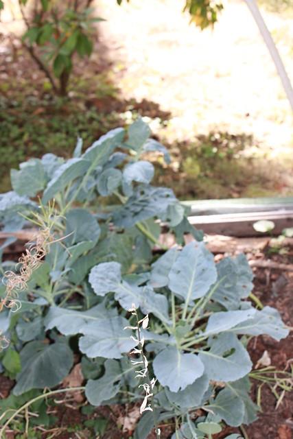 Garden Vegs