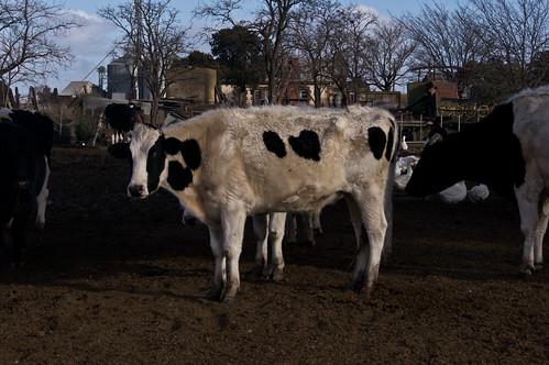 la vaca que posa
