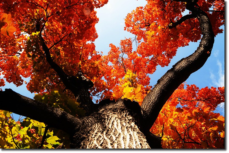 Maple in Fall, Chautauqua park, Boulder (43)