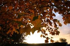 24. Oktober 2013 - 17:42 - Impressionen: Blätter eines Tulpenbaumes im Herbst kurz vor Sonnenuntergang.