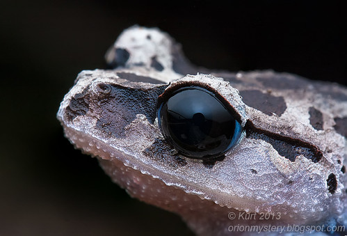 Black-eyed Litter Frog IMG_4438 stk copy