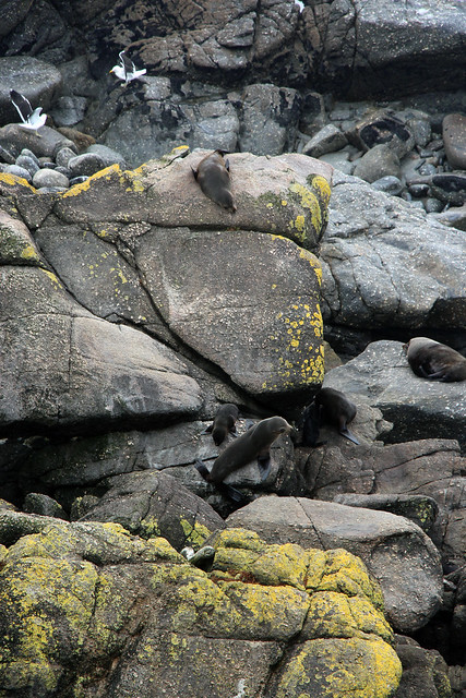 Cape Foulwind Seal Colony