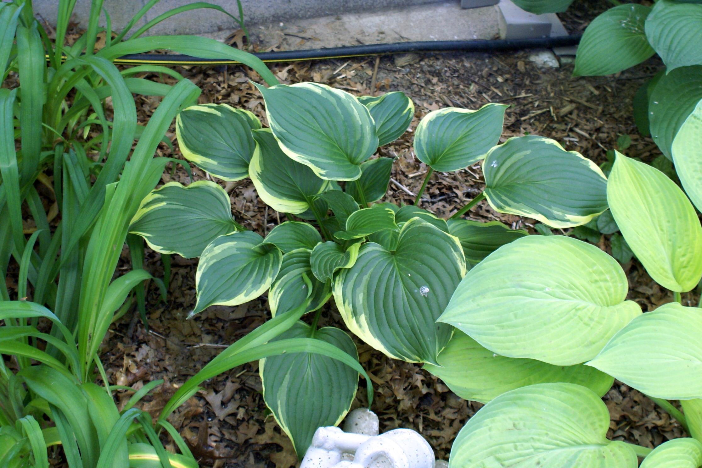 Hosta 'ventricosa Aureomarginata' (09)-1