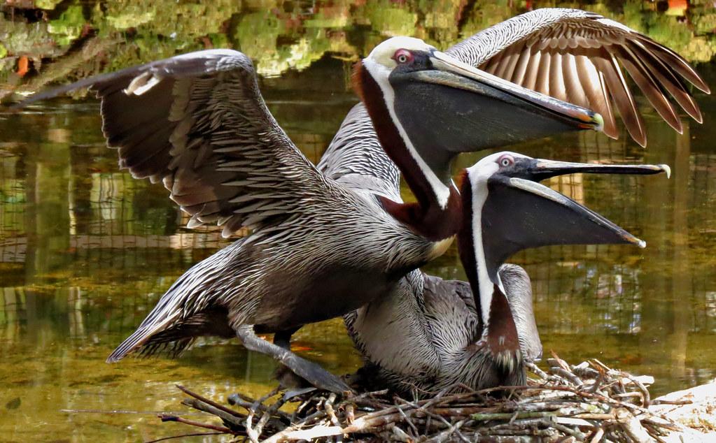 14012134 Brown Pelicans on Nest