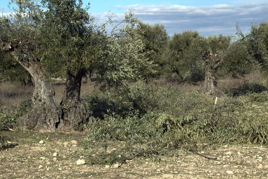 labores del olivo en invierno