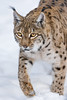 Female lynx walking in the snow