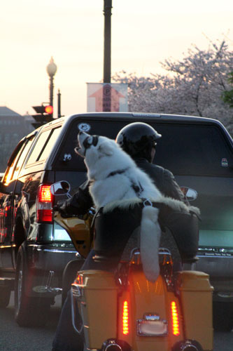 dog on a motorcycle ... with goggles