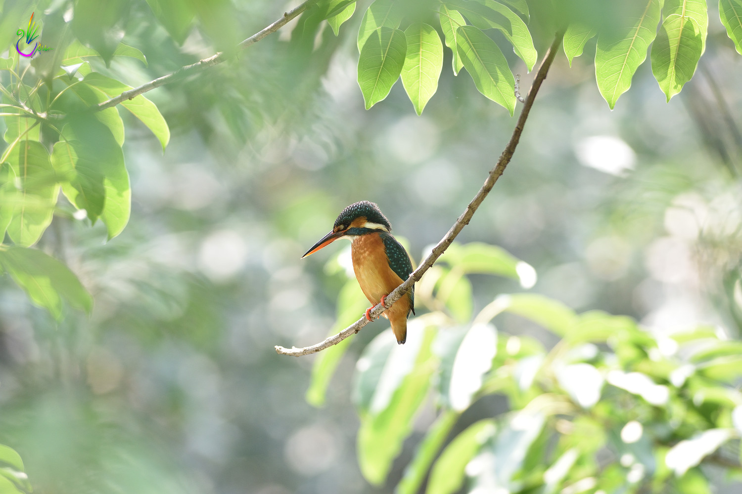 Common_Kingfisher_6940