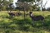 Rhino River Lodge - the zebras