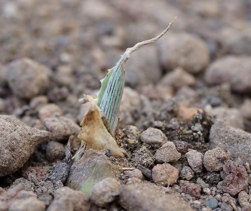 Manfreda variegata 33173622490_ccb3be3ae7