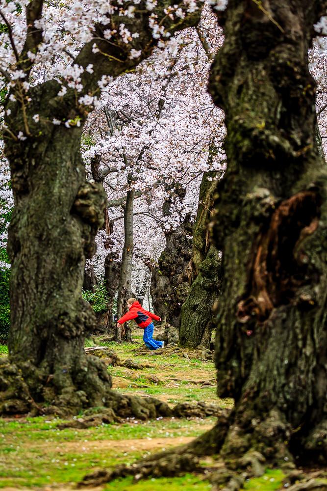 2017 华盛顿樱花-14