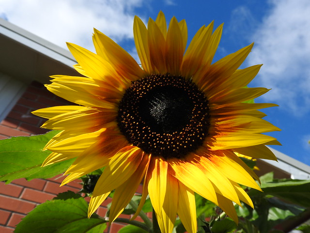 sunflowers at my place, Nikon COOLPIX P610