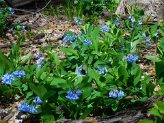 Indian Point Virginia Bluebells