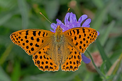 Issoria lathonia - the Queen of Spain Fritillary