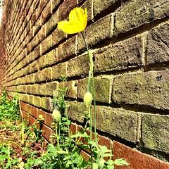 Meconopsis Cymru loitering in rural Pinner #poppy
