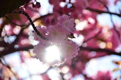 Cherry Blossom and Sunlight