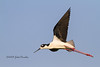 The Flight of the Black-necked Stilt