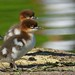 Storskrake / Common Merganser