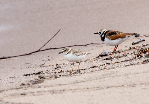 Wilson's Plover and Ruddy Turnstone