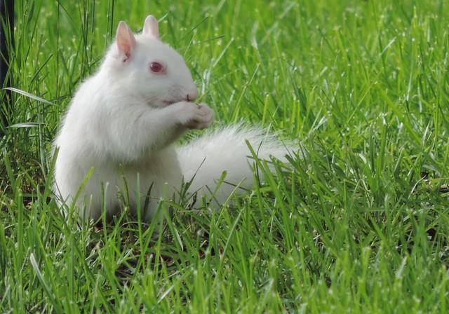 Albino Squirrel In My Yard