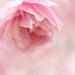 Small photo of Blossom