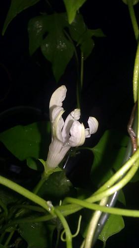Ipomoea purpurea Q1151 by Gerris2