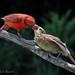 Northern Cardinal male feeding his young (Cardinalis cardinalis) by Paul Hueber