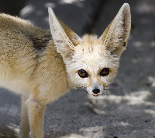 Akela the Fennec Fox by San Diego Shooter