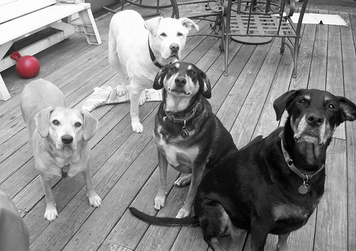4dogs_61813d_BW